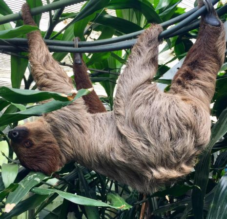 Adopt Cinnamon the Sloth