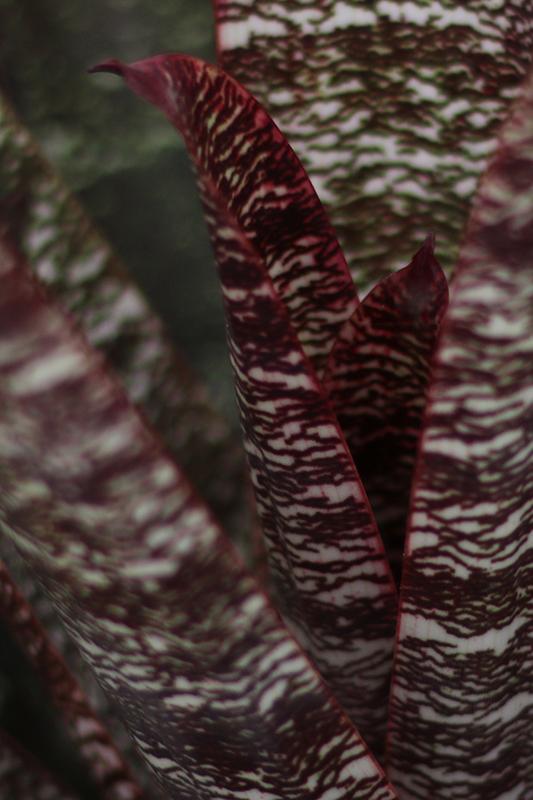 Vriesea fosteriana bromeliad
