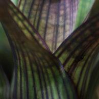 Vriesea gigantea bromeliad