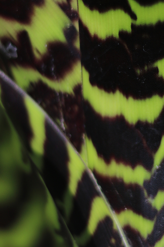 Vriesea hieroglyphica bromeliad