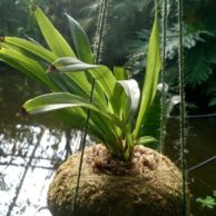 This donated moss ball is being used to grow orchids at the Living Rainforest