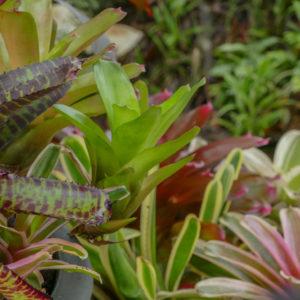 bromeliads cluster