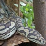 carpet python cropped 1