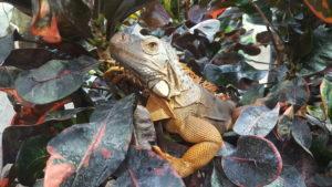 Rio the iguana