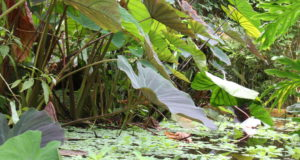 large leaves and pond at the Living Rainforest
