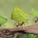 Leaf cutter ants Atta cep 003